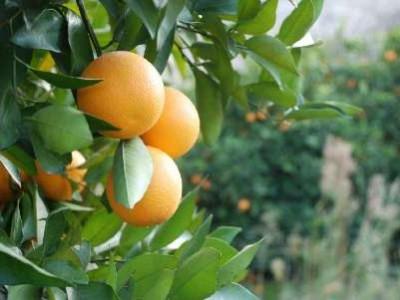 ذخیره سازی هشت هزار تن پرتقال در جنوب کرمان آغاز شد