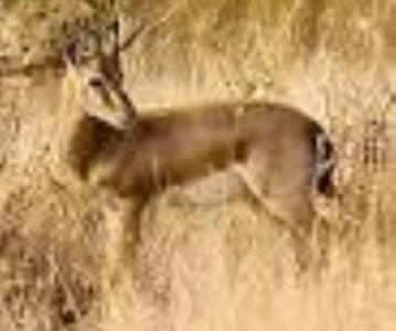 شکار یک راس آهوی آبستن توسط شکارچیان ریگانی